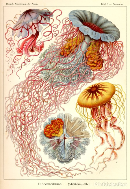 we hunt the Discomedusae, courtesy of Ernst Haeckel