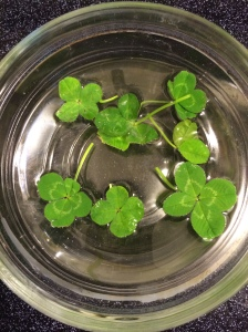 The 4-leaf clovers I found while in labor